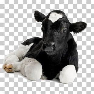 Calf Hereford Cattle Sheep Livestock Dehorning Stock Photography PNG