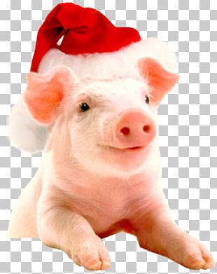 Vietnamese Pot-bellied Christmas Hogs And Pigs Farm New Year PNG
