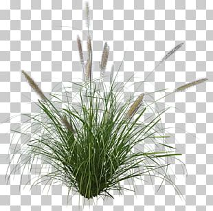 Pennisetum Alopecuroides Ornamental Grass Purple Fountain Grass Japanese Forest Grass PNG