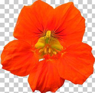 Flower Cosmos Sulphureus Annual Plant Petal Herbaceous Plant PNG