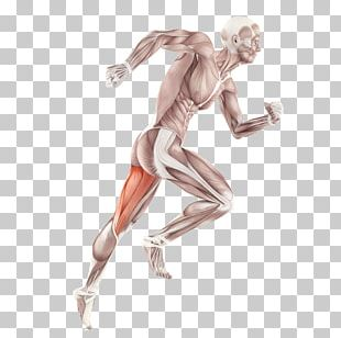 Skeletal Muscle Anatomy Human Body Muscular System PNG