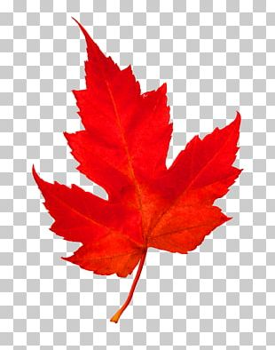 Maple Leaf Woody Plant Tree PNG