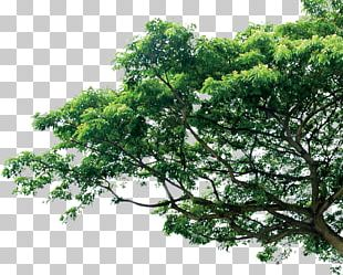 Branch Tree Pine Template PNG