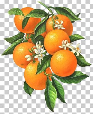 Citrus Xd7 Sinensis Orange Blossom Botanical Illustration Illustration PNG