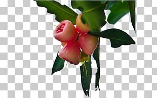 Apple Crisp Java Apple Fruit PNG