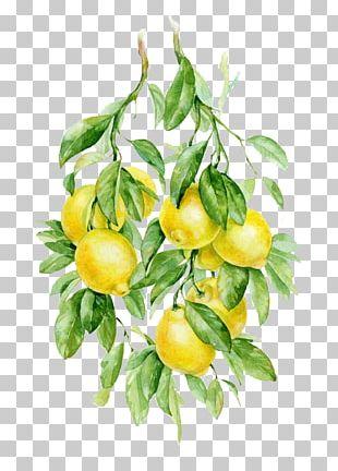 Watercolor Painting Fruit Auglis Botanical Illustration Illustration PNG