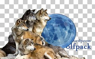 Wolf Reintroduction History Of Wolves In Yellowstone Dog Species Reintroduction Pack PNG