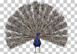 Bird Asiatic Peafowl Stock Photography PNG