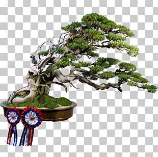Sageretia Theezans Bonsai Weeping Fig Tree Flowerpot PNG