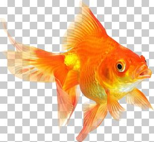 Ryukin Comet Red Cap Oranda Common Goldfish Desktop PNG
