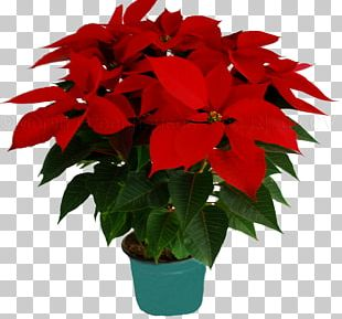 Flower Poinsettia Christmas Merlin Greenhouses S De RL De CV Houseplant PNG