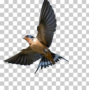 Barn Swallow Bird Southern Rough-winged Swallow Tree Swallow PNG