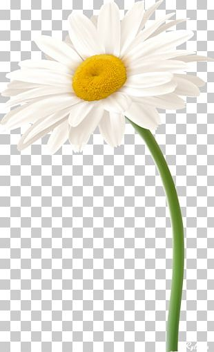 Roman Chamomile Oxeye Daisy Daisy Family German Chamomile Flower PNG