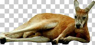 Kangaroo Icon PNG