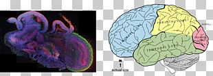 Lobes Of The Brain Frontal Lobe Human Brain Parietal Lobe PNG