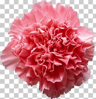 Pink Flowers Carnation PNG