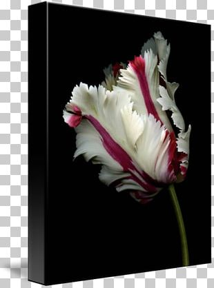 Flower Rose Bulb Seed Plant PNG