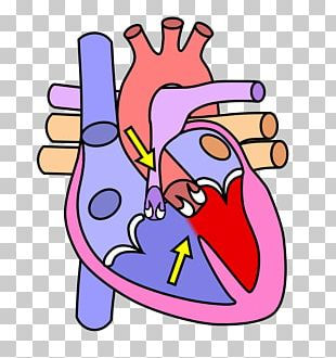 The Heart And Lungs Human Body Anatomy Human Skeleton PNG