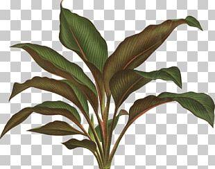 Botanical Illustration Botany Plant Drawing PNG
