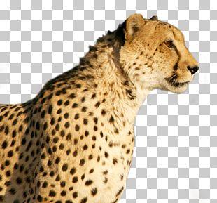 Cheetah Wildcat Tiger PNG
