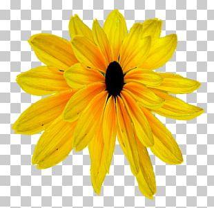 Daisy Family Chrysanthemum Transvaal Daisy Common Sunflower PNG