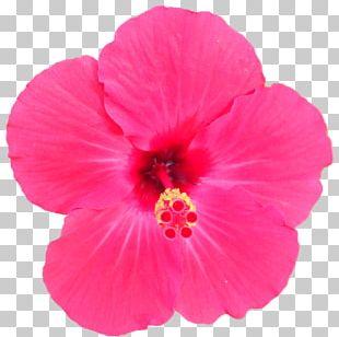 Shoeblackplant Annual Plant Herbaceous Plant Pink M PNG