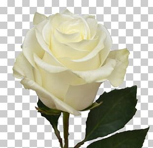 Garden Roses Cabbage Rose Floribunda Cut Flowers White PNG