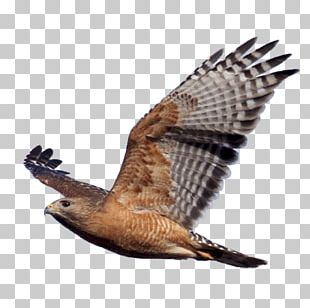 Bird Of Prey Red-shouldered Hawk Eagle PNG