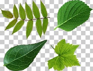Leaf Green Look At Leaves PNG