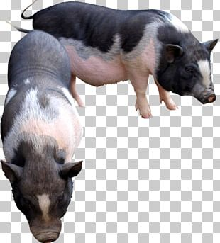 Domestic Pig Cattle Goat Animal PNG