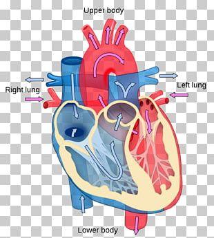 Heart Diagram Anatomy Human Body Circulatory System PNG