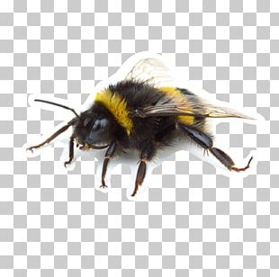 Western Honey Bee Insect Bumblebee Wasp Apidae PNG