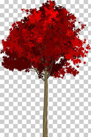 Maple Leaf Red Maple Acer Japonicum Tree PNG