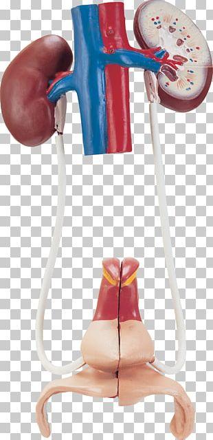 Human Anatomy Human Body Organ Human Skeleton PNG