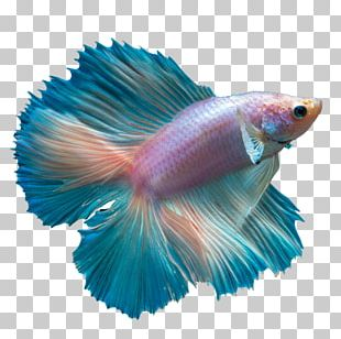 Butterfly Tail Siamese Fighting Fish Butterfly Koi Peaceful Betta PNG