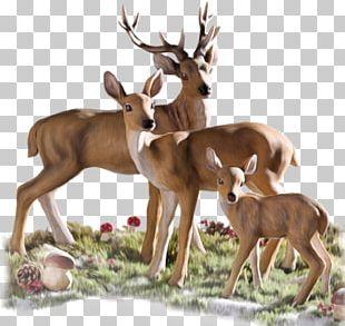 White-tailed Deer Roe Deer Reindeer Animal PNG