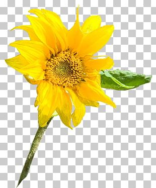 Sunflower Seed Annual Plant Sunflower M Sunflowers Petal PNG