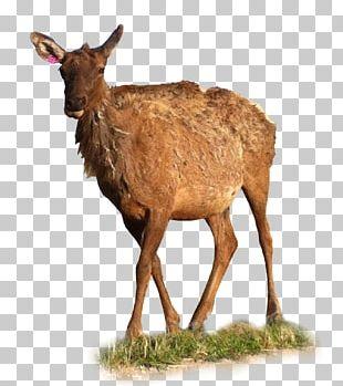 Elk White-tailed Deer Reindeer Antelope PNG