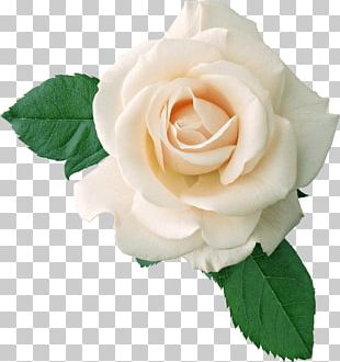 White Rose On Leaves PNG