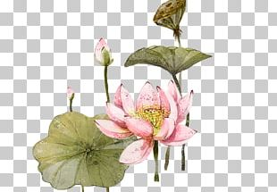 Nelumbo Nucifera 2012 Lotus Evora Illustration PNG