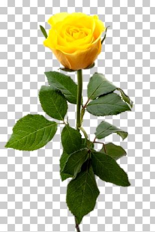 Stock Photography Yellow Rose PNG
