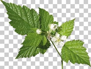 Leaf Herb Plant Common Nettle Archive File PNG