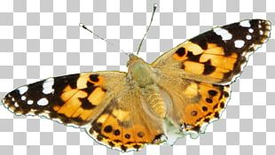 Brush-footed Butterflies Moth Pieridae Gossamer-winged Butterflies Butterfly PNG