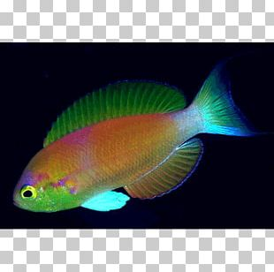 Fishing Pomacentridae Coral Reef Fish Aquariums PNG