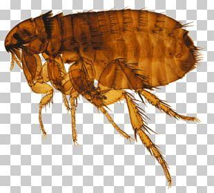 Cat Flea Dog Flea Honey Bee PNG