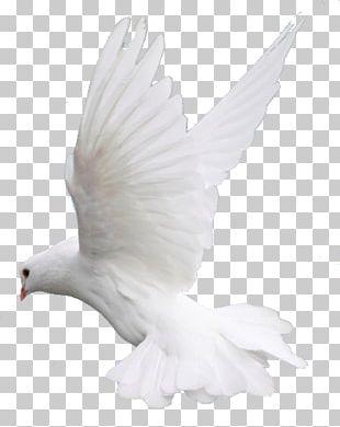 Columbidae Bird Flight PNG
