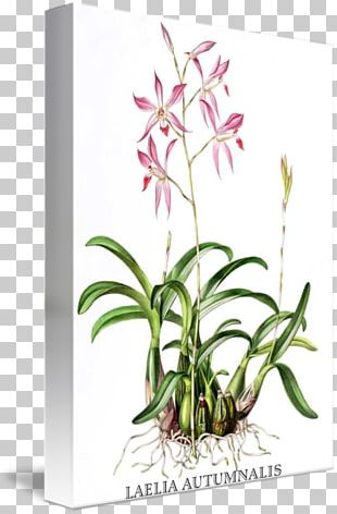 Orchids Botanical Illustration Laelia Autumnalis Painting PNG
