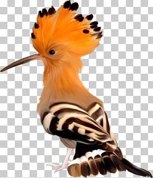 Lovebird Africa Wildlife Hoopoe PNG