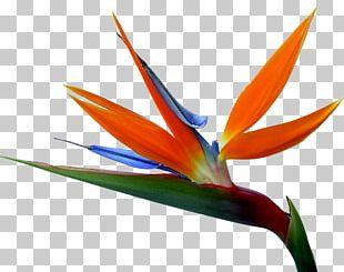 Strelitzia Reginae Bird-of-paradise Drawing Flower PNG