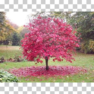 Japanese Maple Red Maple Tree Garden Green PNG